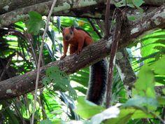Sciurus variegatoides - Das Bunthörnchen (Sciurus variegatoides) ist eine mittelamerikanische Säugetierart aus der Ordnung der Nagetiere (Rodentia). Es gehört zur Familie der Hörnchen (Sciuridae) und wird darin den Eichhörnchen zugeordnet.