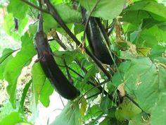 Ichiban eggplants