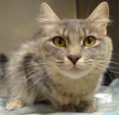"CURRENT CAT PROMOTION!  All cats 2 years of age and older at $1 +tax through the end of 2013!  We are hoping to ""Find EveryONE a Home for the Holidays!"" Name: Snuff (Snuffalufagus) Age: 10 months at date of arrival (7/2/2013) Breed: DMH - Gray Tabby Note From An NHS Volunteer: Snuff is an independent cat who would do best as the only animal in an adult only household or as a barn/shop cat."