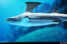 BrushFin Shark    In China? try www.importedFun.com for Award Winning Kid's Science  