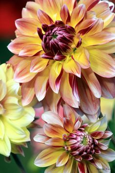 ~~August fire ~ Dahlias by =George-kirk~~