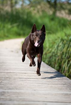 Australian Kelpie /chocolate  ...........click here to find out more     http://googydog.com