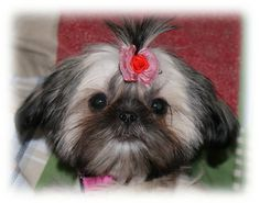 Micro Tiny Teacup Shih Tzu | One of our Teacup Chinese Imperials, Doodles, pictured at age 6 weeks ...