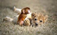 baby lion and monkey playing together