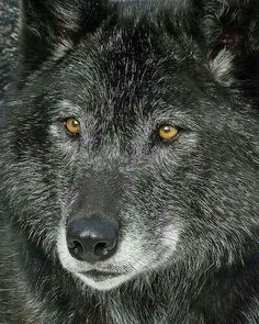 Wolf Wolf Photos, Wolf Pictures, Animal Pictures, Beautiful Creatures, Animals Beautiful, Cute Animals, Wild Animals, Wolf Spirit, Spirit Animal