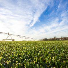 #lush #green #sirwalterbuffalo getting its #morning #water. #bluesky #clouds #grass #lawn #turf #twinviewturf #turffarm #nature #naturelovers #natureaddict #farm #irrigation #sunshinecoast #australia
