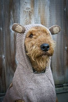 Here's the dog I want when I'm older and have enough time to take care of it: an Airedale Terrier. I will put a bear suit on it.