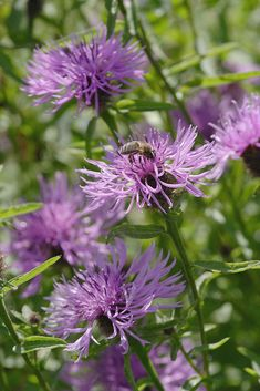 Centaurea nigra – Common Knapweed, Black Knapweed or Hardheads. a wide range of insects. including bees, flies, butterflies and beetles and the resulting seed heads attract goldfinches and other seed feeding birds. tall, native, grassland perennial of low to moderately fertile soils except very damp or acid sites. Meadows, pastures, road verges, fields borders, waste ground, scrub land and woodland edges. It can persist for many years in both grazed pasture and neglected tussocky grassland