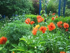Mohn und Flockenbume Stuffed Peppers, Vegetables, Plants, Poppy, Garten, Pictures, Stuffed Pepper, Vegetable Recipes, Flora