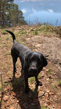 Family Dogs, Arrow, Labrador Retriever, Animals, Labrador Retrievers, Animales, Animaux, Animal, Animais