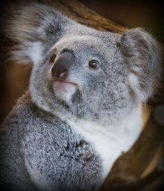 Koala is not a bear,but is a marsupial Baby Koala, Koala Bears, Baby Animals, Cute Animals, Wild Animals, Quokka, Australian Animals, Pet Birds, Animals Beautiful
