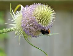 Growing native wildflowers like teasel is a great way to encourage pollinating insects into your garden. #beefriendly