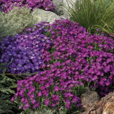 Aubrieta Axcent™ Blue with Eye Rock Cress ~   Zone 4-9; Rock Cress is a popular spring-flowering rock garden perennial. It forms a low carpet of evergreen leaves, literally smothered by flowers for several weeks. This selection has single flowers of bright lavender-blue with a tiny yellow eye. Excellent in the rock garden, cascading over walls, for edging or in alpine containers. Plants should be trimmed lightly immediately after bloomin...