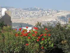 Flowers on Derech Midbar Yehuda with Mount Scopus, Jerusalem in the background