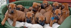 Fiercely loyal yet calmly obedient....Rodesian Ridgebacks :)