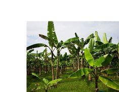 Money Box, Irrigation, Agriculture, Pump, Plant Leaves, Korea, Gay, Banana, Cook