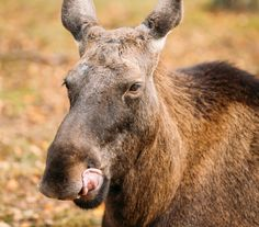 Canadians Have Been Warned About Car-Licking Moose Because Canada. Take me there.. in a VERY salty car!!