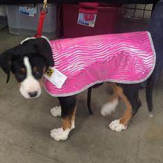 A Swissie puppy. She sure looks pretty in pink but I'm pretty sure she'll be needing a bigger size! #madebyde #coatsmadebyde #dogcoats #dogcoolcoat #dogshow #showdog #dogagility #agilitycoolcoats #agilitydog