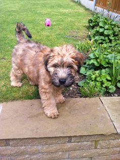 Ted the Soft Coated Wheaten Terrier aged 10 weeks....