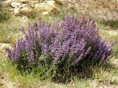 Plantas aromáticas - Fitoterapia
