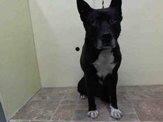 O BE DESTROYED 6/9/14 Manhattan Center   My name is EBERHARD. My Animal ID # is A1002142. I am a male black and brown akita and dutch shepherd mix. The shelter thinks I am about 5 YEARS old.  I came in the shelter as a STRAY on 06/05/2014 from NY 10017, owner surrender reason stated was STRAY. https://www.facebook.com/photo.php?fbid=815480651798149&set=a.611290788883804.1073741851.152876678058553&type=3&theater
