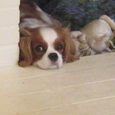 Cuteness! Our cavalier peeking out of her little cave.