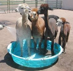 our alpacas LOVE this in the hot summer time :D