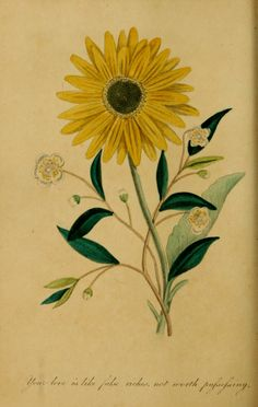 Sunflower. The language of flowers: with illustrative poet...