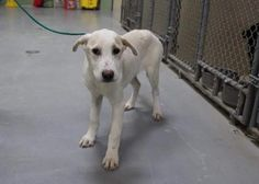 11/14/16-Nora is a female Lab mix less than a year old Kennel A21 $51 to adopt  ADOPT/RESCUE/FOSTER   Located at Odessa, Texas Animal Control. Must have a valid Drivers License and utility bill with matching address to adopt. They accept Credit Cards, cash or checks. We ARE NOT the pound. We are volunteers who network these animals to try and find them homes. Please send us a PM if we can answer any questions for you.