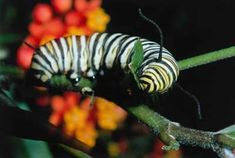 A monarch butterfly caption eats a milkweed plant. Different Plants, Types Of Plants, Stages Of A Butterfly, Milkweed Plant, Butterfly Background, Animal Medicine, Monarch Butterfly, Colorful Flowers, Planting Flowers