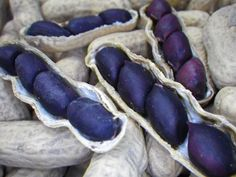Schronce's Deep Black Peanut This is done to ensure seed protection and preservation. Before you plant your peanuts, the seeds (the nuts) will need to be removed from their shells. Peanuts are a super fun and easy plant to grow for the wh...