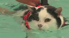 A fat cat does laps in a swimming pool in a bid to shift 3kg.
