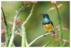 Birdwatching and Photography - Refuge LPO: Souimanga de Mayotte Nectarinia coquerellii Mayott...