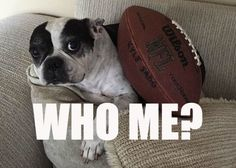 "Do you know the expression ""you can't teach an old dog new tricks""? Old Dogs, Dog Memes, New Tricks, Puppy Love, Boston Terrier, Chloe, Puppies, Teaching, Pets"