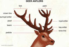 Antler Sheds And Yosemite's Bucks