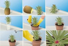 Growing a pineapple Hydroponic Growing, Hydroponic Gardening, Organic Gardening, Gardening Tips, Indoor Gardening, Pineapple Planting, Pineapple Top, Pineapple Express, Raised Bed Garden Design