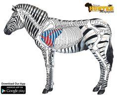 Zebra-shot-placement