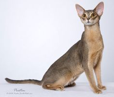abyssinian cat photography - Google Search
