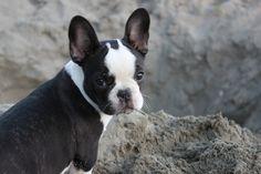 French Bulldog cross Boston Terrier