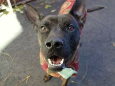 GONE --- Manhattan Center  BIG SHOW - A1020898 *** HELPER DOG ***  MALE, BR BRINDLE, PIT BULL MIX, 2 yrs STRAY - STRAY WAIT, NO HOLD Reason ABANDON Intake condition EXAM REQ Intake Date 11/16/2014, From NY 11221, DueOut Date 11/19/2014,  https://www.facebook.com/photo.php?fbid=907923279220552%2F