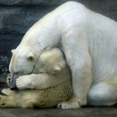 Tenderness and love, mama & cub. Although Polar bears are the sister species of the brown bear, it has evolved to occupy a narrower ecological niche, with many body characteristics adapted for cold temperatures, for moving across snow, ice, and open water, and for hunting the seals which make up most of its diet.