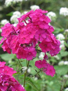 "Garden Phlox 'Dusterlohe' aka Nicky  Phlox paniculata. 24-48"" tall. Blooms July-September."