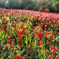 Les tulipes du château de Cheverny #printemps #spring #sun #soleil #rayons #sunbeam #tulipes #flowers #rouge #red #finDeJournee #EndOfTheDay