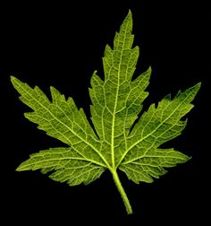 Motherwort herb leaf back side