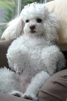 Sweet little poodle. Poodles are amazing swimmers and very intelligent. Mini Poodles, French Poodles, Toy Poodles, Standard Poodles, Cute Puppies, Cute Dogs, Dogs And Puppies, Poodle Puppies, Doggies