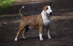 Bull Terrier, 4k, small dog, pets, brown dog