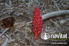 Snow Plant at Navitat in Wrightwood, California #SnowPlant #JohnMuir #WinterFlower #Nature #Beauty
