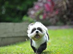 Dog dyed to look like a panda (or a little skunk ?!  CUTE!)