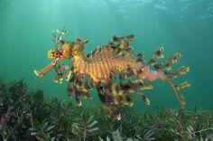 Самец листового морского дракона плывет с яйцами над водорослями в водах у полуострова Йорк, Южная Австралия. (Alex Mustard/Steve Bloom Images / Rex Features)