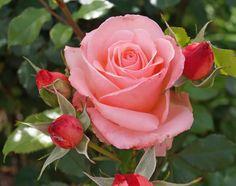 Bill Warriner - Floribunda, orange-pink, full, 1998, rated 7.9 (very good) by ARS.